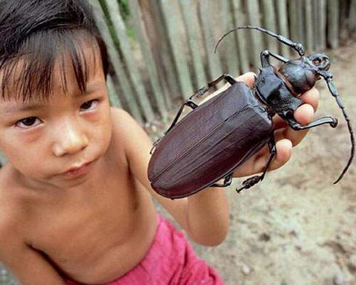 Bọ cánh cứng Titan – một trong những loài bọ cánh cứng lớn nhất thế giới. Chiều dài của chúng lên tới 16,5cm. (Ảnh: Internet)