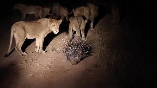 Phản ứng bất ngờ của đàn sư tử hung dữ khi gặp phải con nhím