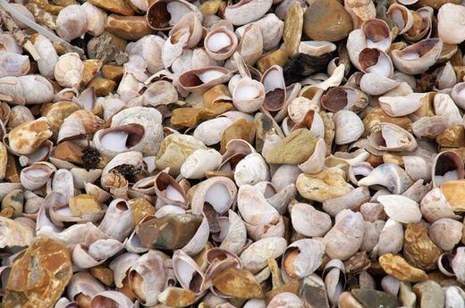 Loài ốc sên biển này chủ yếu sinh sống ven bờ biển. (Ảnh: Internet)