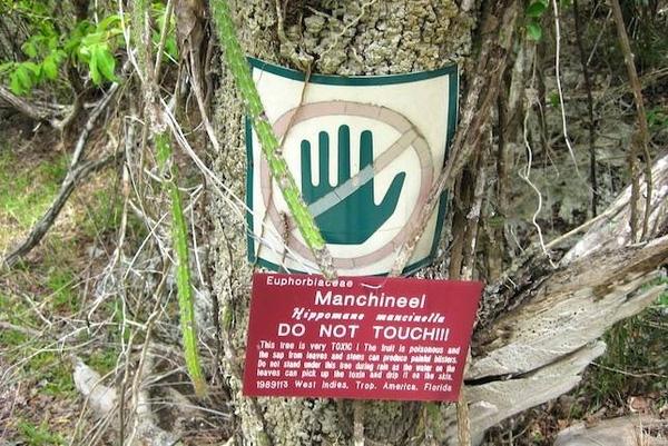 Cận cảnh loài cây nguy hiểm nhất hành tinh: Chỉ đứng cạnh cũng chết.3