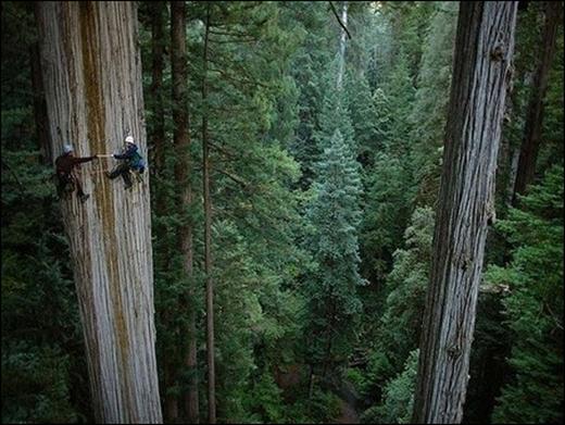Cây cù tùng (sequoia) 750 năm tuổi ở California. (Ảnh: Michael Nichols)