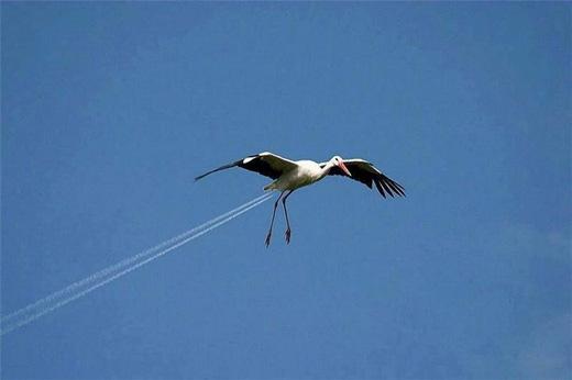 Khoảnh khắc có một không hai khi chú chim bay vào đúng hai vệt mây mà máy bay để lại. (Ảnh: Internet)