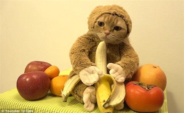 Trong clip, chúmèo hóa trang thành khỉ,chỉ lộ ra khuôn mặt và chủ nhân của nó thìđang đưamột quả chuối trước mặt.(Ảnh: Internet)