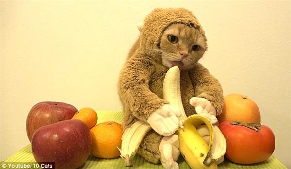 Mèo tiếp tục ăn chuối. (Ảnh: Internet)