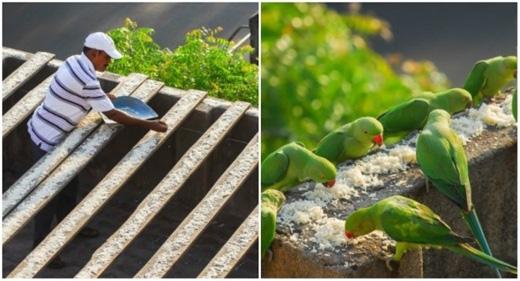 Mỗi ngày từ 4 giờ sáng, ông cụ 62 tuổi người Ấn Độ có tên Sekar lại cho bầy vẹt hoang gồm 4.000 con được ăn uống đầy đủ. (Ảnh: Internet)