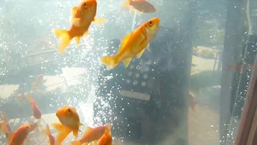 Thích thú với bể cá vàng khổng lồ giữa phố của người Nhật