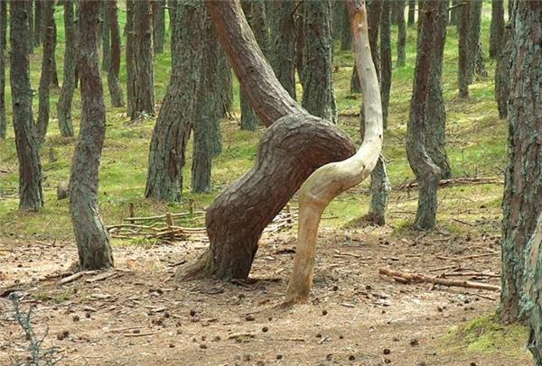 """Phía tây nước Nga, có một khu rừng được mọi người gọi là """"say xỉn"""" hay """"khu rừng nhảy múa"""", vì nơi đây xuất hiện hiện tượng thiên nhiên bí ẩn nhất trên thế giới. Ảnh: Internet"""