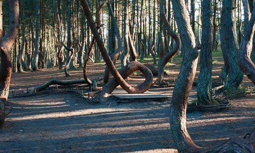 """Theo đó, hàng nghìn cây thông chụm lại, """"uốn dẻo"""" tạo thành những hình xoắn ốc. Nhìn tổng thể từ bên ngoài vào cả khu rừng không khác gì một tập thể đang nhảy múa. Ảnh: Internet"""