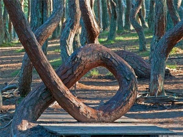 """Các nhà khoa học đã bỏ nhiều thời gian, công sức để nghiêncứu, lí giải hiện tượng kì lạ này. Có một số ý kiến cho rằng, do nguồn năng lượng âm dương quá lớn nên tạo gây ra sự """"méo mó"""" trong các cây rừng. Ảnh: Internet"""