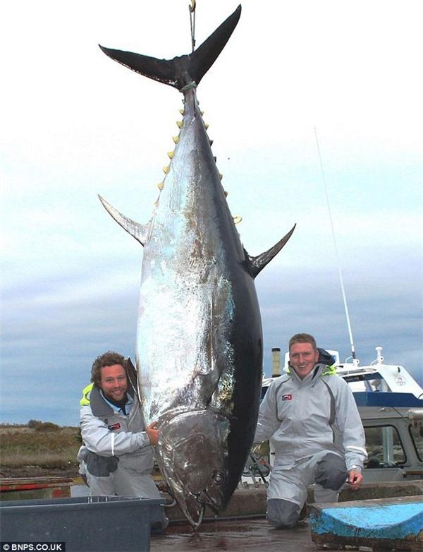 Cá ngừ vây xanh loại lớn. (Ảnh: Internet)
