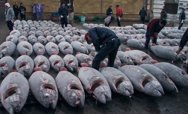 Cá ngừ vẫn bị săn bắt và đem bán. (Ảnh: Internet)