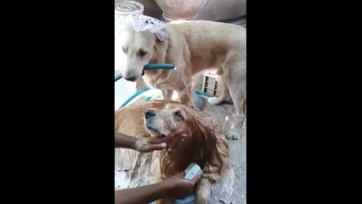 Phát hiện chú chó giúp chủ tắm cho bạn khiến dân mạng thích thú