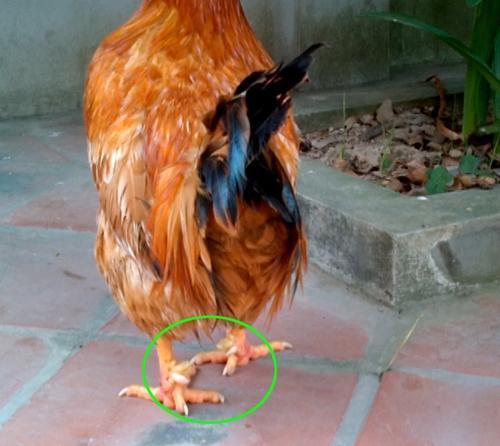Giải mã huyền thoại về gà chín cựa trong Sơn Tinh Thủy Tinh
