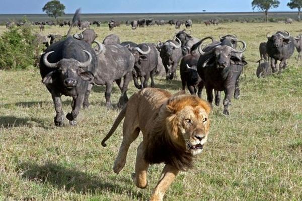Sư tử sợ hãi bỏ chạy vì bị đàn trâu rừng truy sát.