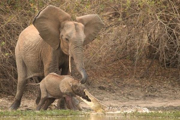 Khoảnh khắc voi mẹ cố dùng chiếc vòi cứu voi con bị cá sấu tấn công.