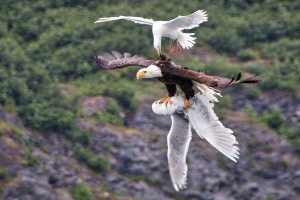 Con chim mòng biển tấn công đại bàng để giải thoát đồng loại.