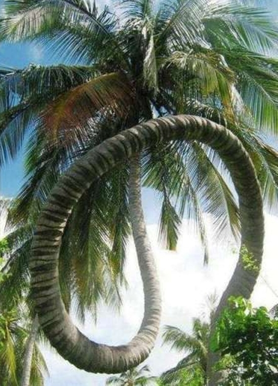 Thân cây dừa uốn lượn khiến nhiều người không tin vào mắt mình.