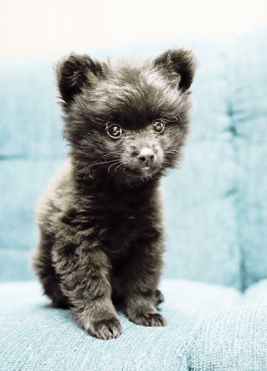 6. Bé bi giống Pomeranian với đôi tai gấu cực chuẩn.
