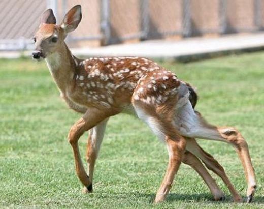 Trước đó, người ta cũng đã phát hiện ra rất nhiều động vật bị đột biến, khiến cơ thể mang hình hài kì lạ. Như chú nai này có tới 2 khung xương chậu, 2 cái đuôi và 4 cái chân sau. Nguyên nhân hình thành được cho là do sự gián đoạn trong quá trình hình thành thai đôi. (Ảnh: Internet)