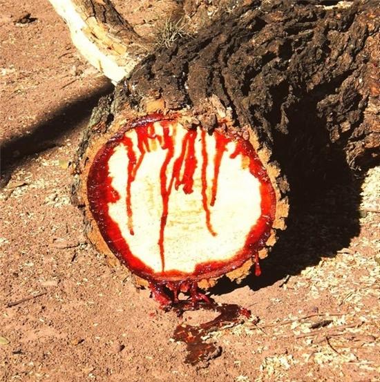 """Cây """"chảy máu"""" tươi khi mới cắt…"""