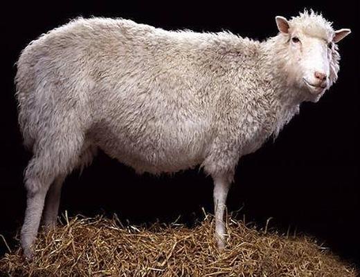 Động vật nhân bản đầu tiên - cừu Dolly. (Ảnh: Internet)