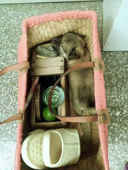 Hình ảnh chú chó mù lòa đang ngủ trong giỏ xách. (Ảnh: Internet)
