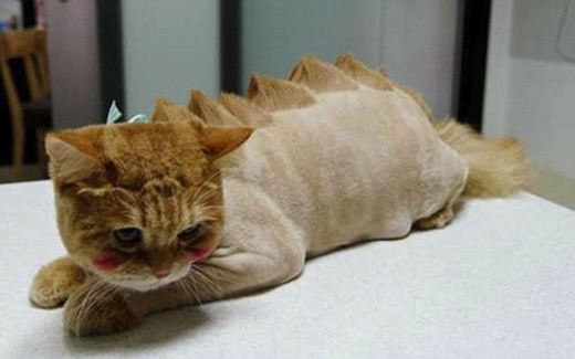 Bé mèo này có vẻ buồn thỉu buồn thiu saukhi có bộ lông được tạo hình vảy rồng. (Ảnh: Internet)