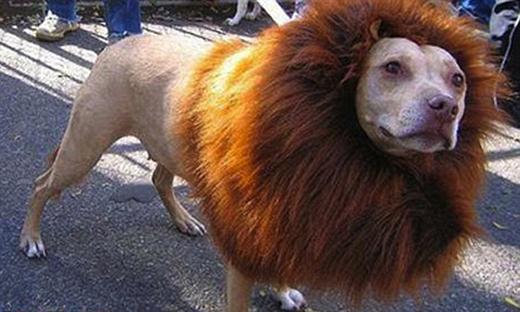 Chú chó giả danh sư tử khá thuyết phục. (Ảnh: Internet)