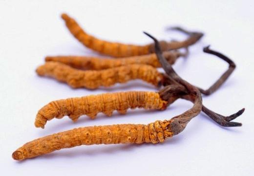 Đông trùng hạ thảo là bài thuốc quý mà các đại gia săn lùng ráo riết vào dịp Tết. (Ảnh: Internet)