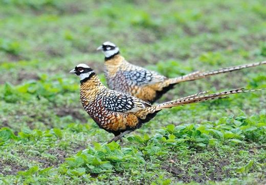 Chim trĩ hoàng đế được tin là mang lại may mắn trong năm mới nên được rất nhiều đại gia mua về nuôi. (Ảnh: Internet)
