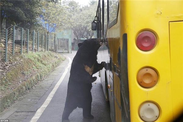 """Một chú gấu đang """"do thám"""" chiếc xe buýt chở khách tham quan khi đi ngang qua """"địa bàn"""" của nó.(Ảnh: Daily Mail)"""
