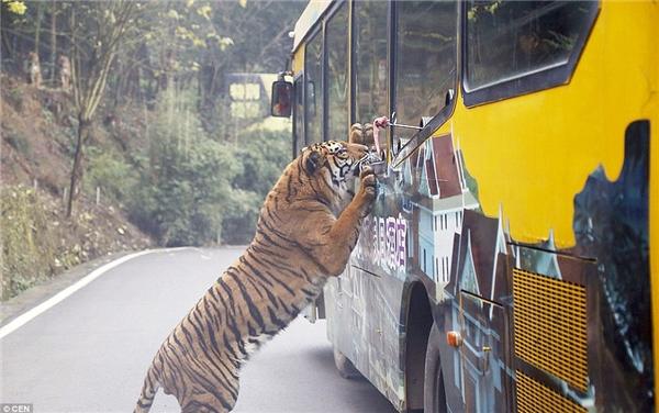 """Chú hổ Bengal nhảy xổ đến chiếc xe chở khách tham quan để """"táp"""" miếng thịt được treo trên một cái que.(Ảnh: Daily Mail)"""