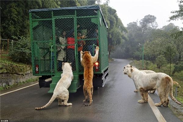 Được biết, khi hình thức này vừa xuất hiện ở Trung Quốc vào năm 2015, vé vào sở thú bán rất chạy trong vòng 3 tháng.(Ảnh: Daily Mail)