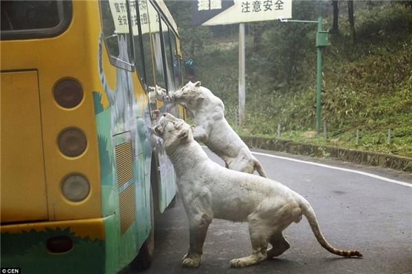 Hai con hổ trắng khổng lồ đón nhận bữa ăn qua cửa sổ xe buýt từ khách tham quan.(Ảnh: Daily Mail)