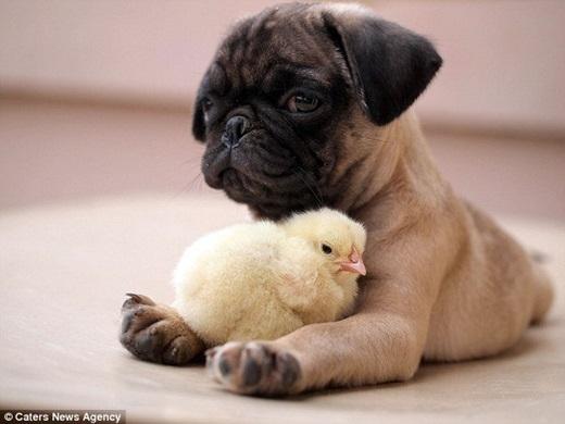 """Fugly và KFC cho dù làm bất cứviệc gì cũng đều """"dính"""" lấy nhau, giống như đang ôm vậy, không những thế chúng luôn ngủ cùng nhau, KFC luôn làm tổ trong 2 chân trước của Fugly. (Nguồn Internet)"""