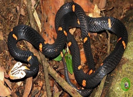 Đây là loài rắn lục đầu bạc thứ hai thuộc giống Azemiops và là loài rắn độc thứ 60 trong tổng số hơn 210 loài rắn được ghi nhận ở Việt Nam.