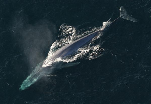 Chú cá voi có trái tim lớn. (Ảnh: Internet)