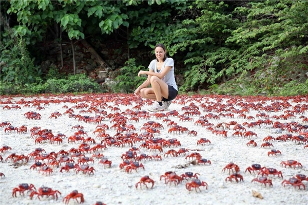 Đàn cua đỏ đang di cư. (Ảnh: Internet)