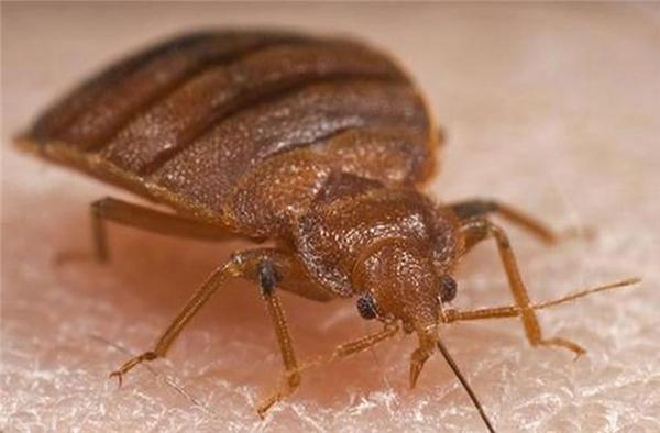 Rệp có kích thước rất nhỏ bé, chúng đã xuất hiện từ hàng nghìn năm trước. Rệp không gây chết người nhưng chúng tồn tại bằng cách hút máu người. Chúng thường ẩn mình trong tối và ra hút máu khi đêm xuống. Hiện nay chúng cóxu hướng phát triển mạnh về số lượng. Ảnh: Internet