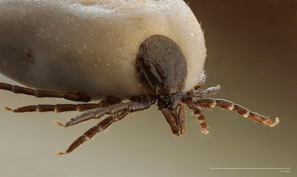 Ve là loài sống kísinh trên cơ thể con người hay động vật có lông. Ve có thể hút một lượngmáunhiều gấp 600 lần trọng lượng cơ thể, gây ra sốt phát ban Rocky Mountain hoặc bệnh nhiễm trùng Lyme. Ảnh: Internet