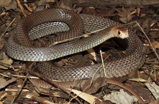 Đây là loài rắn có nọc độc xếp thứ hai thế giới.(Ảnh: Internet)