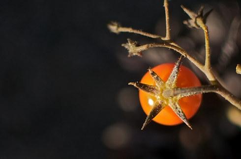 Cây cà chua mọc giữa nham thạch. (Ảnh: Internet)