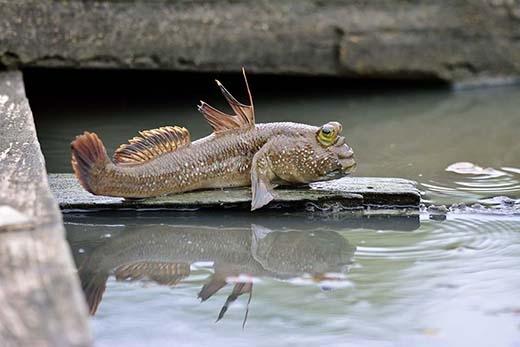 Loài cá lưỡng cư sống tốt dưới nước và cũng cực năng động trên cạn. (Ảnh: Internet)