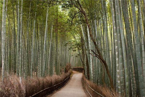 Rừng trúc Sagano, Nhật Bản (Ảnh: Internet)