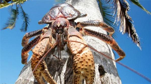 """Hình dạng """"hầm hố"""" của một chú cua dừa. (Ảnh: Internet)"""
