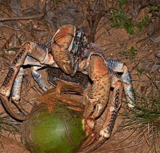 Chú cua dừa này đang chuẩn bị ăn một quả dừa. (Ảnh: Internet)