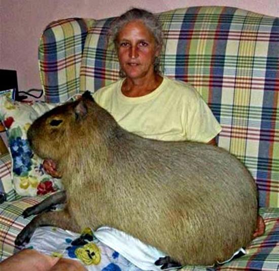 Thân hình to lớn của chú chuột Gary. (Ảnh: Internet)