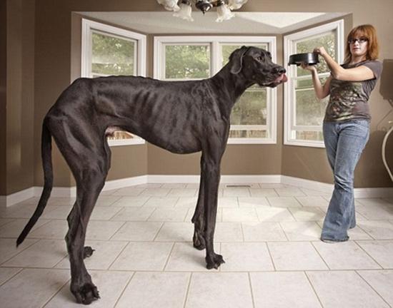 Chú chó này cao gần bằng chủ nhân của mình. (Ảnh: Internet)