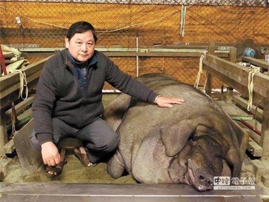 Cân nặng của chú lợn này lên đến 1 tấn. (Ảnh: Internet)