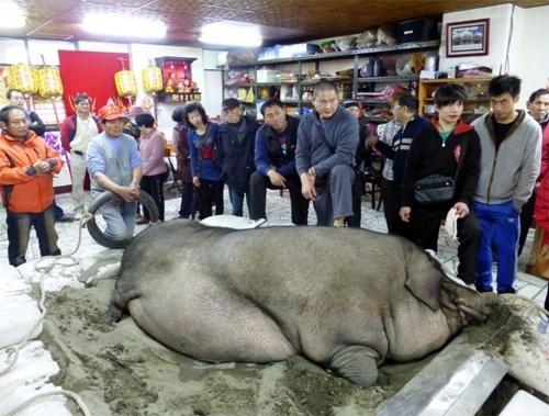 Chú lợn của ông Liêu khi được tham gia lễ hội rước lợn. (Ảnh: Internet)